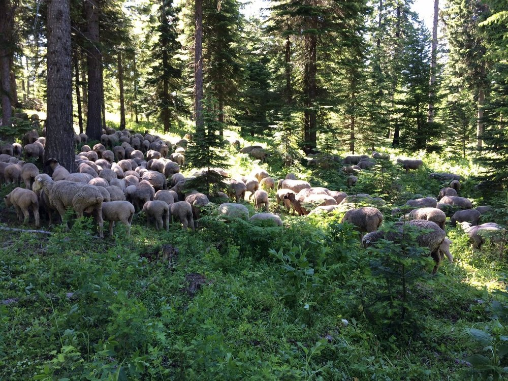 A band of sheep belonging to Krebs Livestock in the Blue Mountains of Oregon. Credit: U.S. Forest Service - Umatilla National Forest