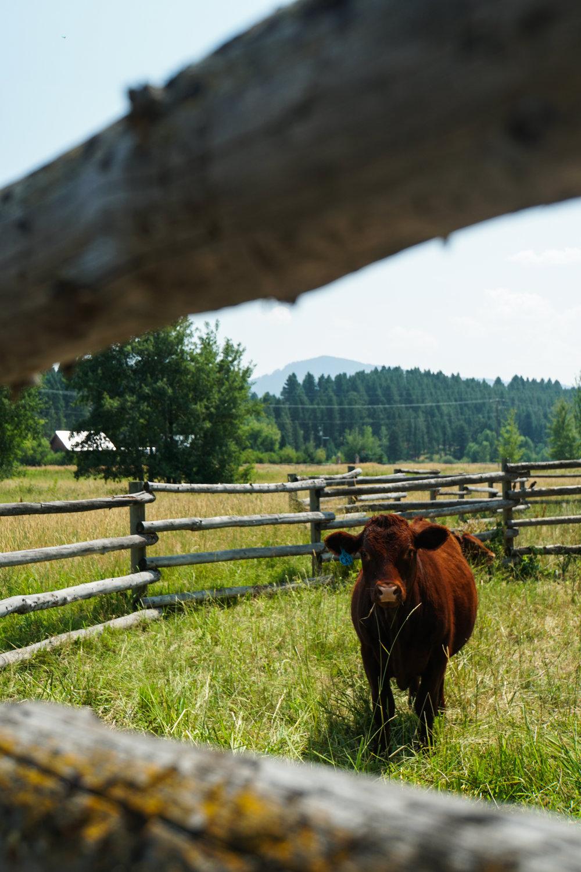 Cow 3Fiddles.jpg