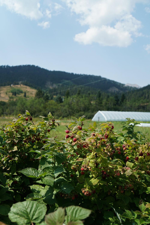 Berries Greenhouse 3Fiddles 2.jpg