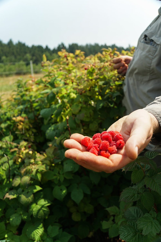 harvesting berries in Bozeman Montana
