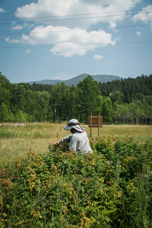 local farmer harvesting Bozeman, Montana