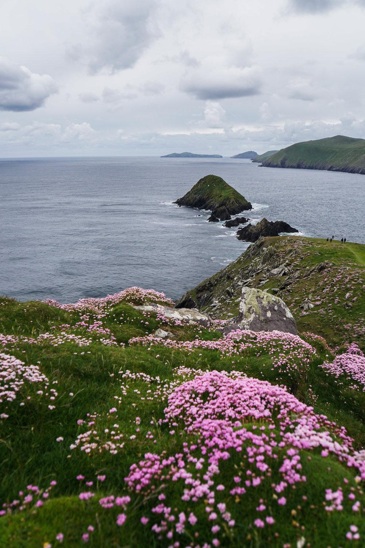 Blasket islands pink flowers for dayzzz.jpg