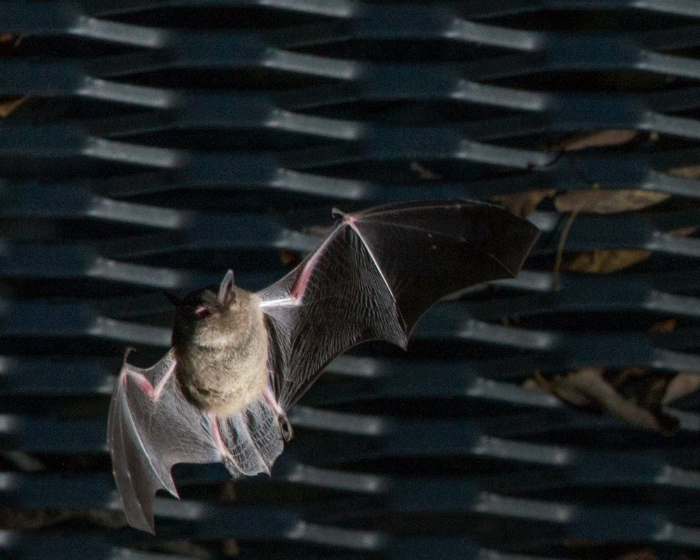 FALLing in Love with Bats - October 27th at Sodalis. 6-9pm. Prepare for the scariest of holidays by debunking common scary bat misconceptions, learning creepy cool Missouri bat facts and actually SEEING bats in fall swarm preparing for the world's largest winter hibernation of Endangered Indiana bats at Sodalis Nature Preserve.