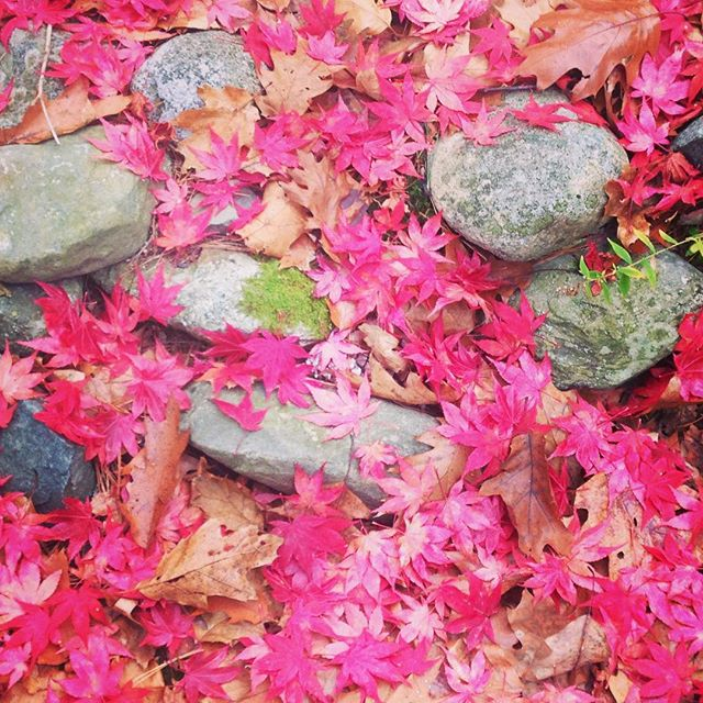 Our Japanese Maple is always the last to drop its leaves.