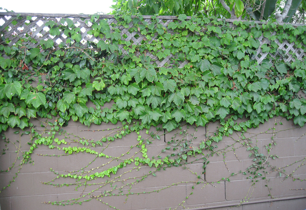 11.BostonIvy.CreepingFig.jpg