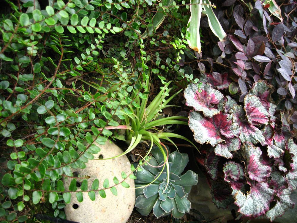 13b.Round_Fern_Begonia.Tillandsia.Ketti.Kupper.jpg