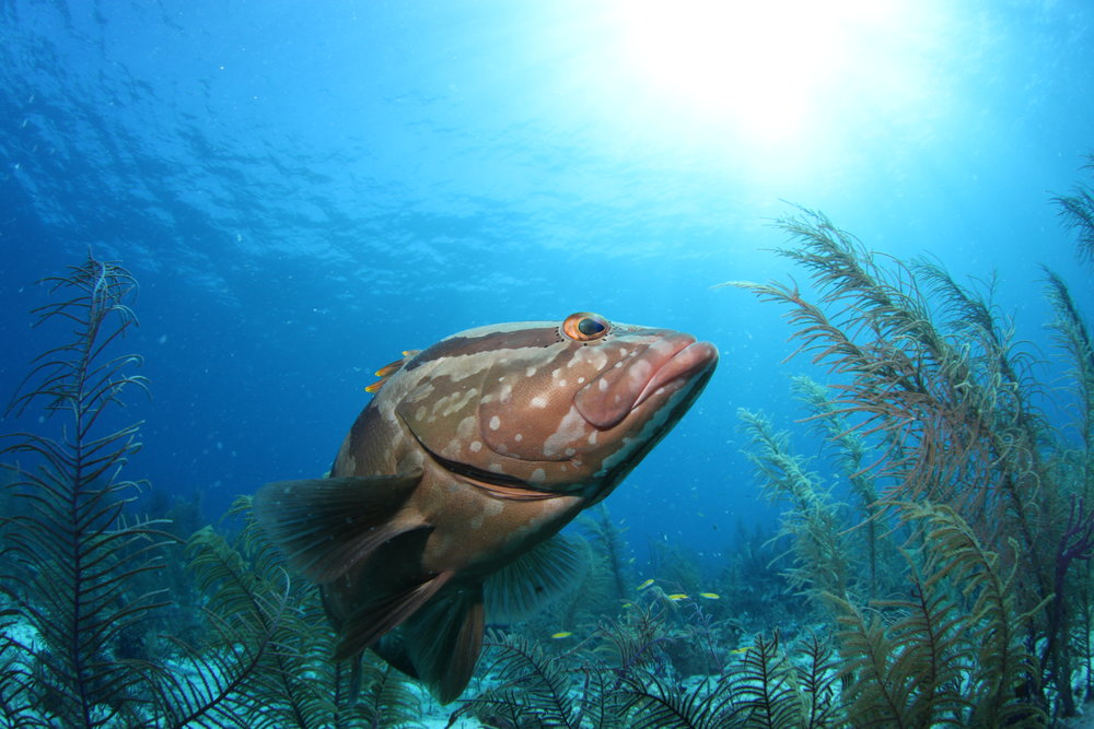 Grouper in the Atlantic ocean sun