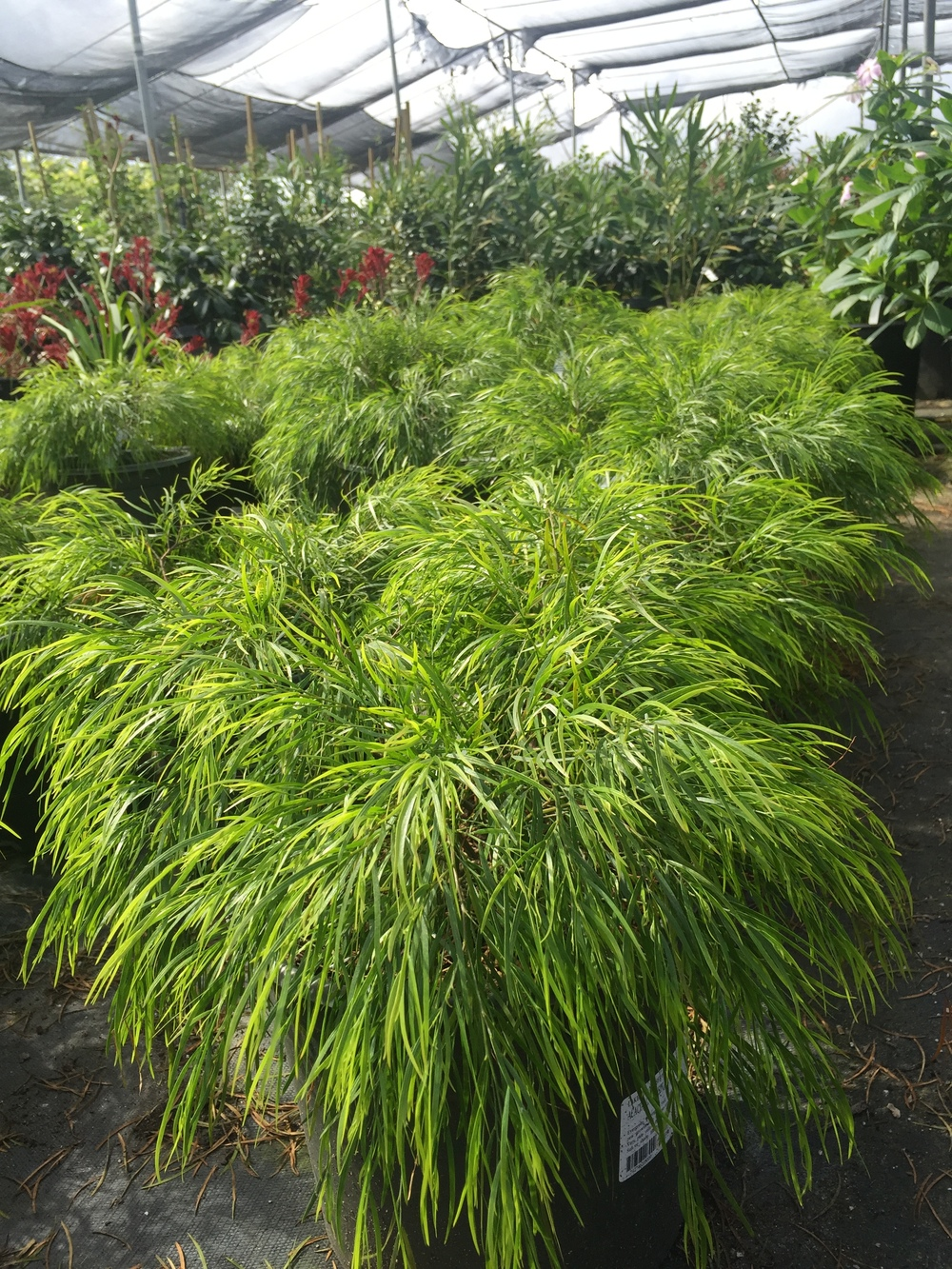 Acacia cognata 'Cousin Itt'