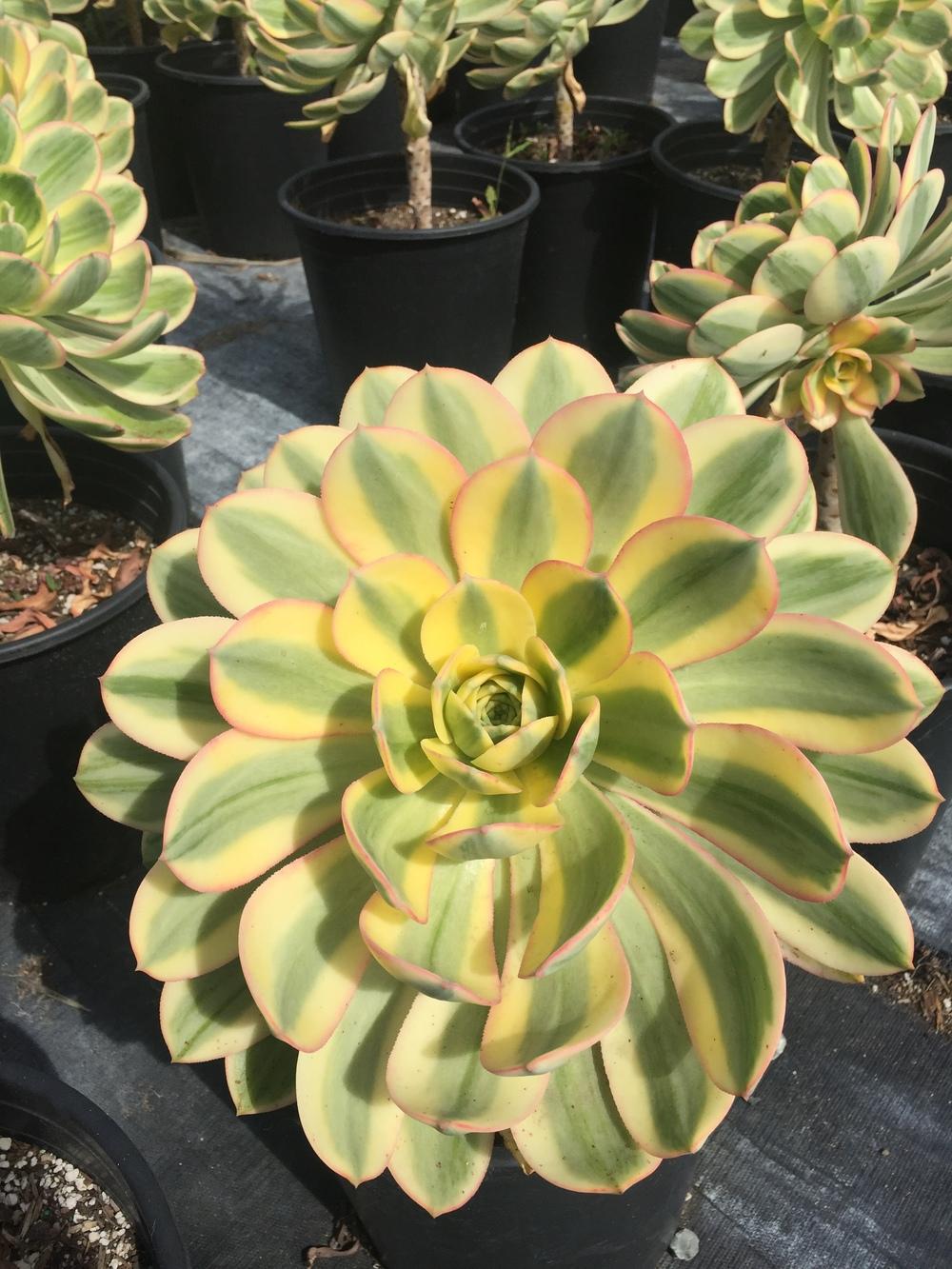 Aeonium decorum 'Sunburst'