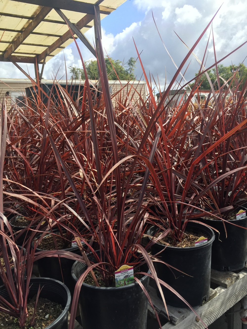 Cordyline 'Design-a-line Burgundy'