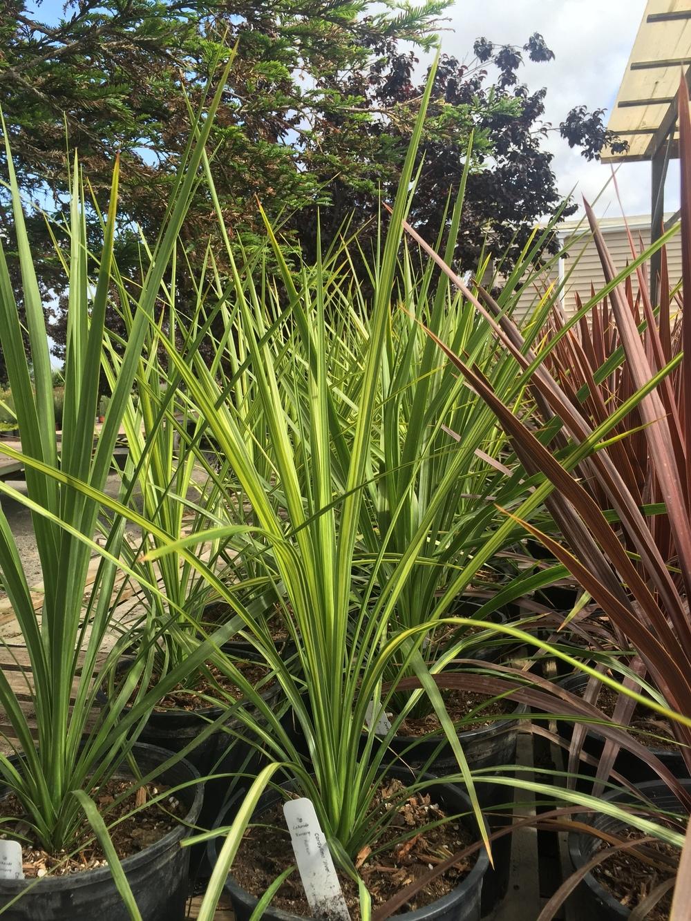 Cordyline australis 'Jive'
