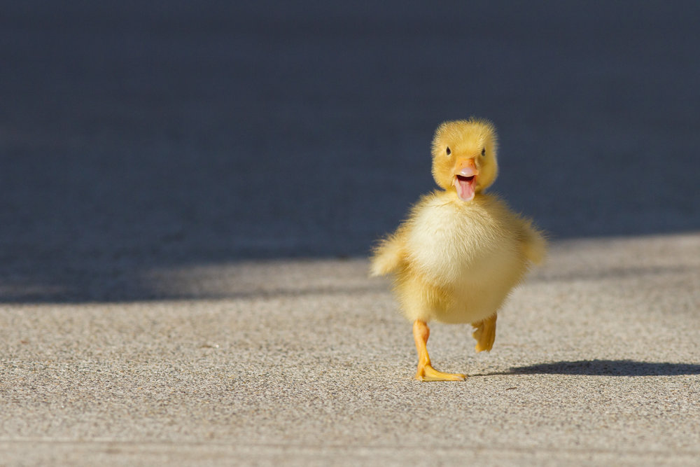 fluffy the fast duckling juan osorio