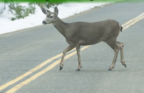Reduging your speed will increase your response time to avoid colliding with a crossing animal. Photo courtesy of Caltrans.