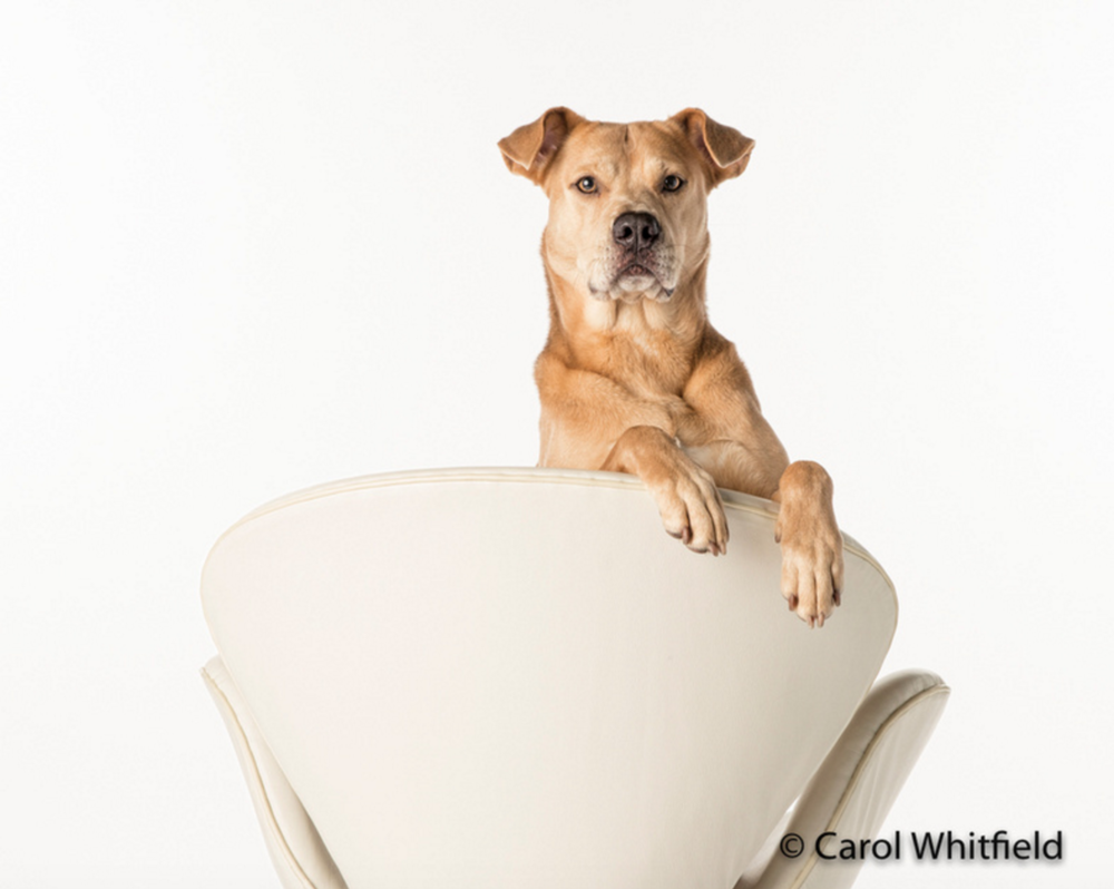 Studio Photography_Pit Bull