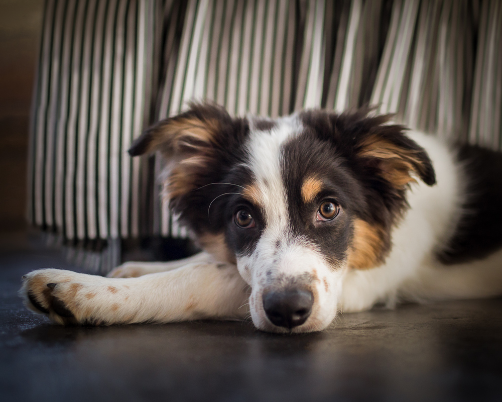Seattle Pet Photography_Australian Shepherd