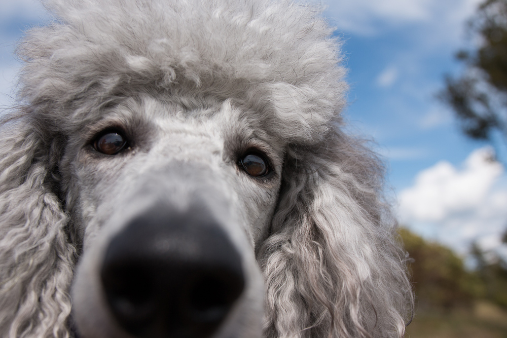 Seattle Pet Photography_Poodle