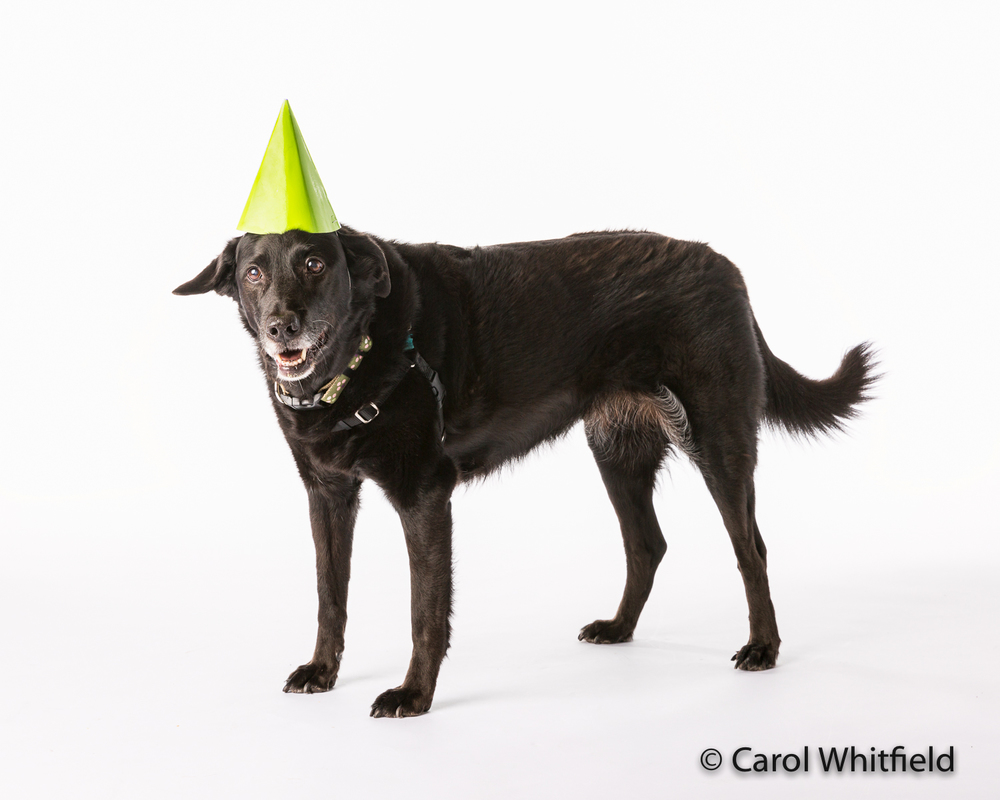 "Who says you can't teach old dogs new tricks??    This 13 year old beauty really doesn't like wearing ""clothes"" but her mom taught her to HAPPILY wear a party hat!"