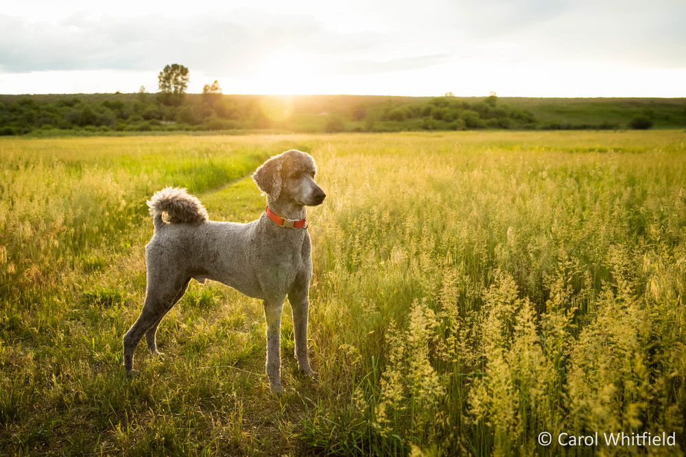 Seattle Pet Photography_Standard Poodle