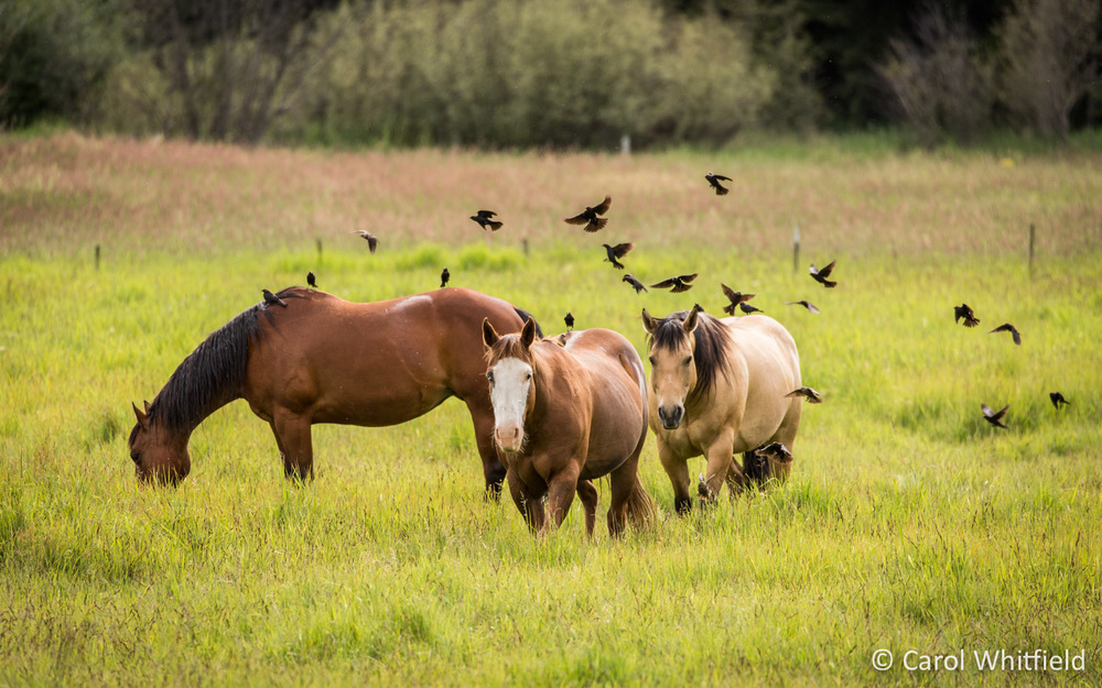 Seattle Pet Photography_horses