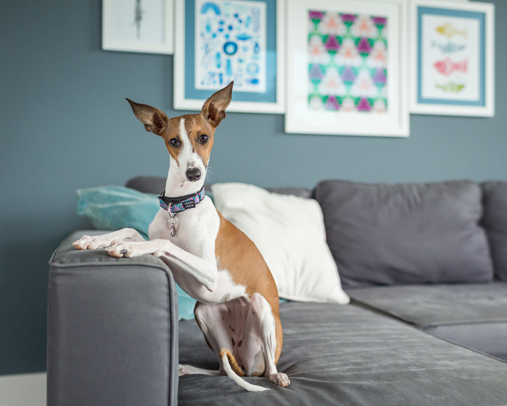 Seattle Pet Photography_Italian Greyhound