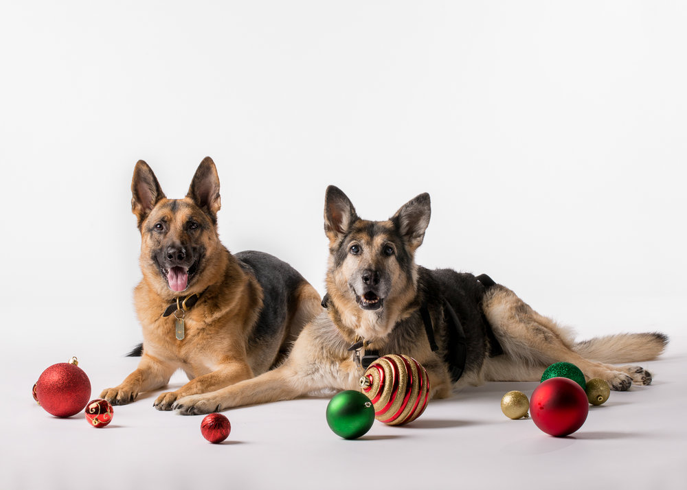 German Shephard_Seattle Pet Photography