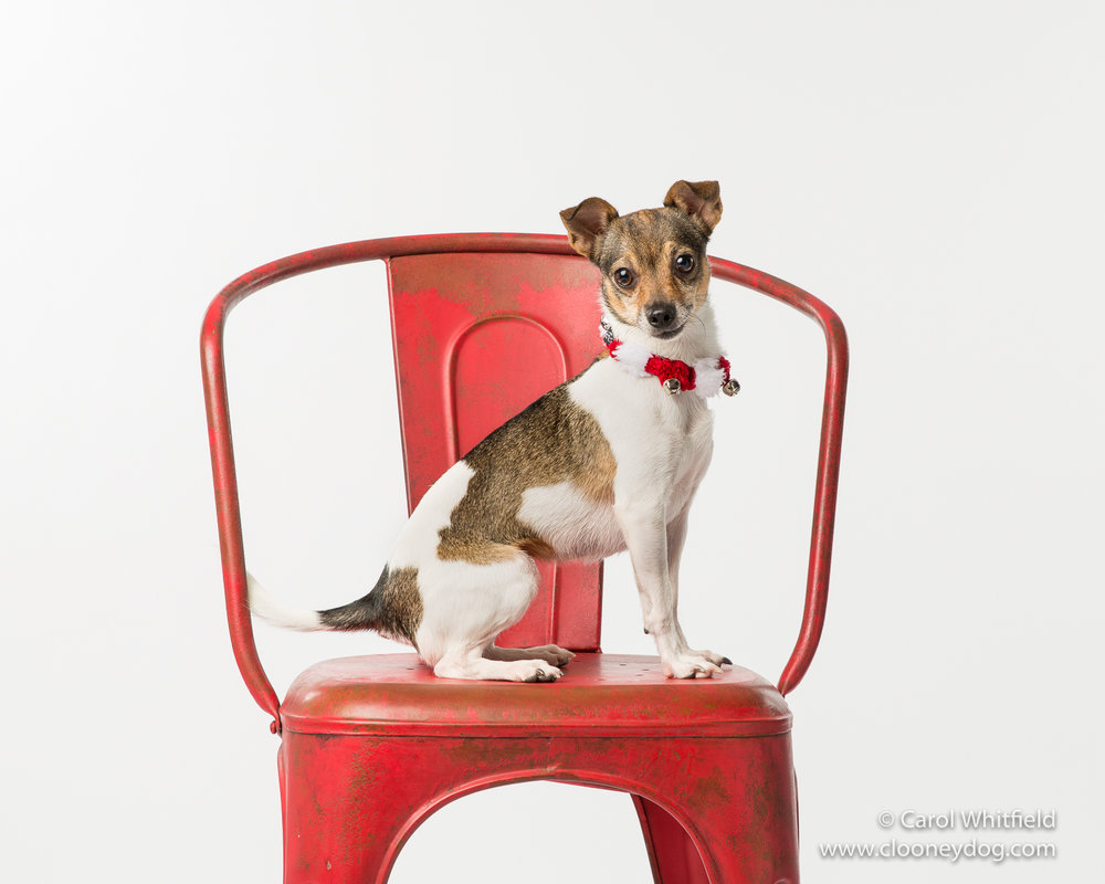 rat terrier_seattle Pet Photography