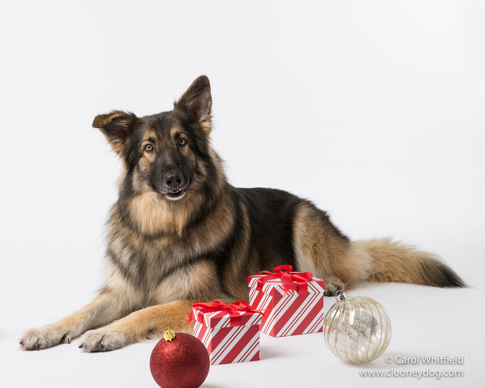 Shilo Shephard_Seattle Pet Photography