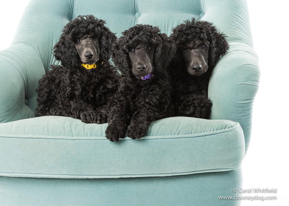 Standard Poodle Puppy_Seattle Pet Photography