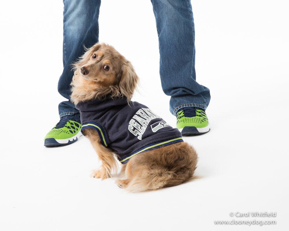 seahawks dog_daschund