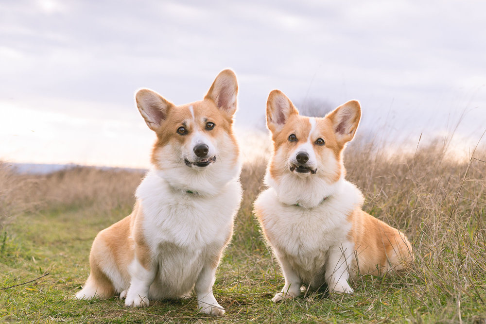 Seattle Pet Photography_Corgis