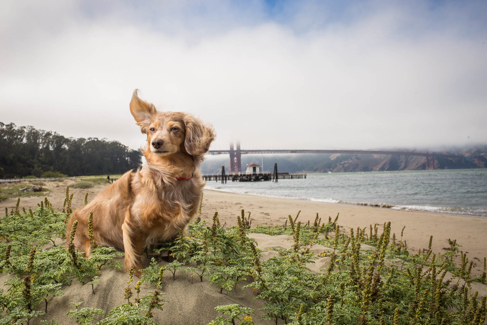 Seattle Pet Photography_dacshund