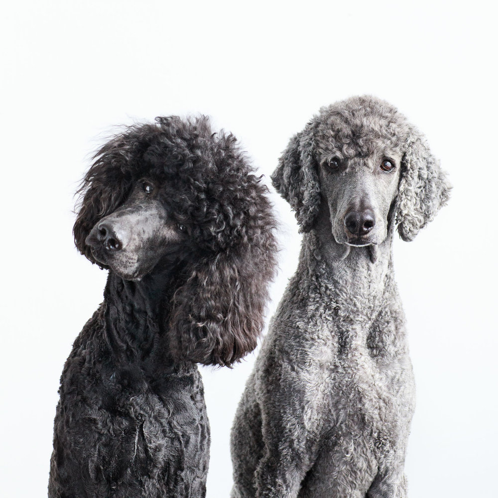 Seattle Pet Photography_Poodles