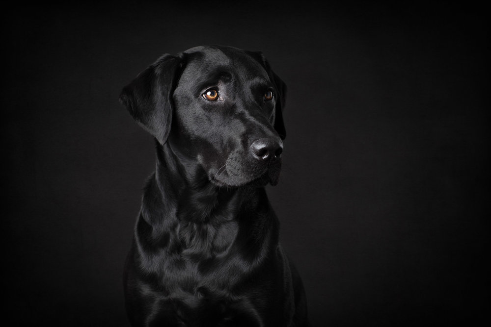 Seattle Pet Photography_labrador