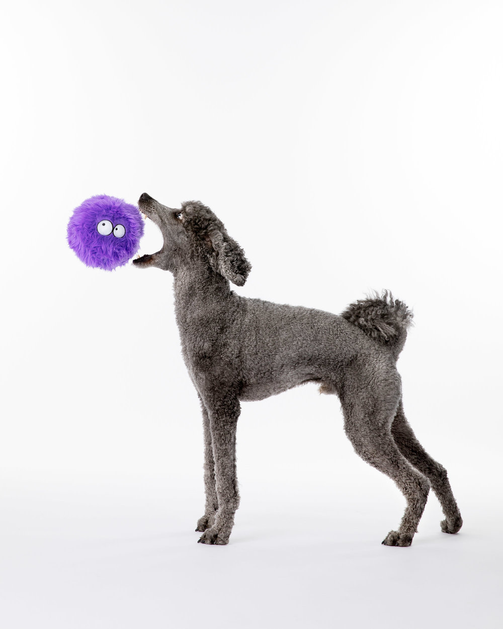 Pet Photography_Poodle