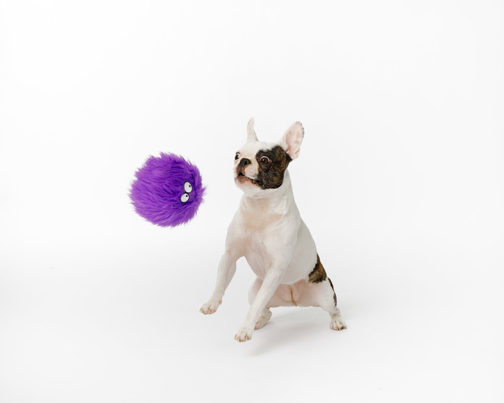 Pet Photography_boston terrier