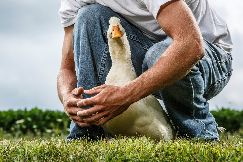 Pekin-Duck--005-apf.jpg