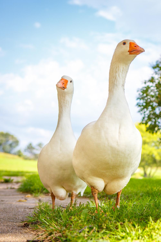 embdem geese-3967.jpg