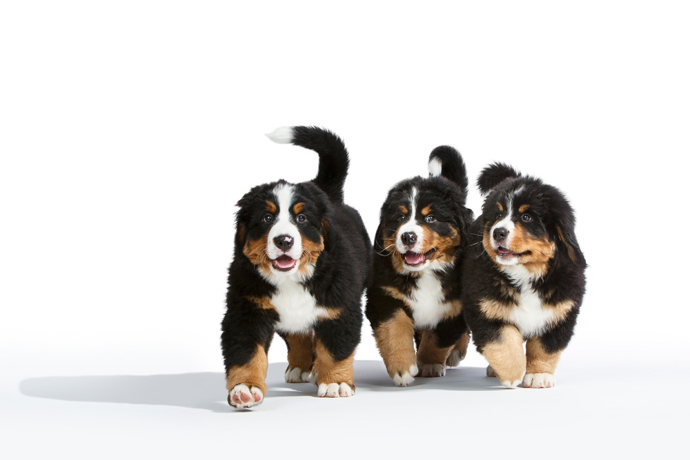Bernese-Mountain-Dog-Puppies-0965-v3-APF.jpg