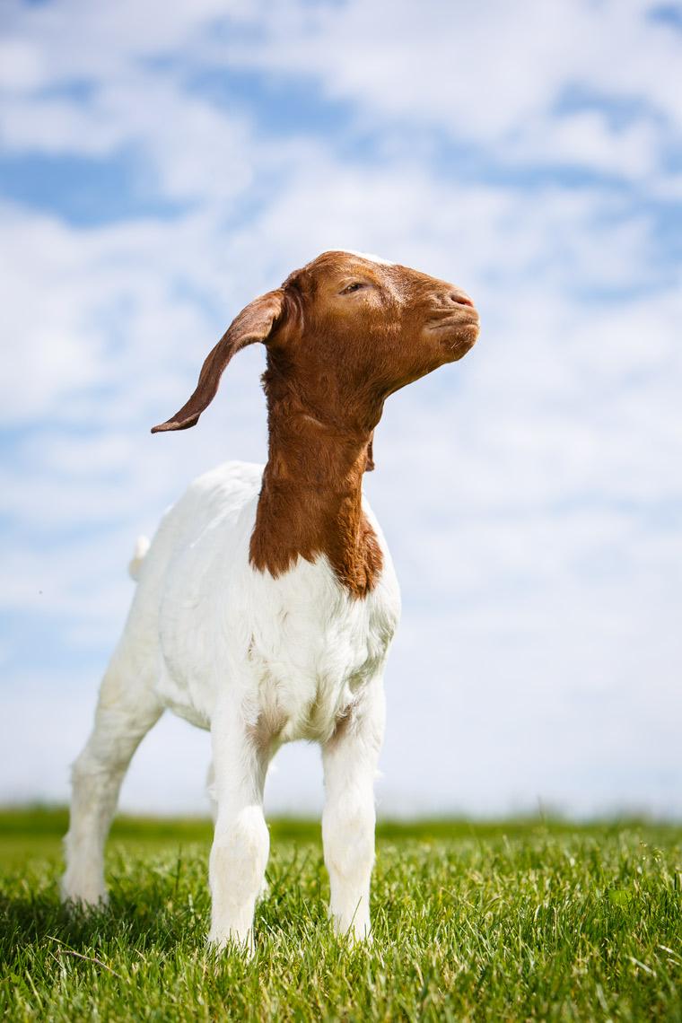 Boer-Goat-Kid-2089-apf.jpg