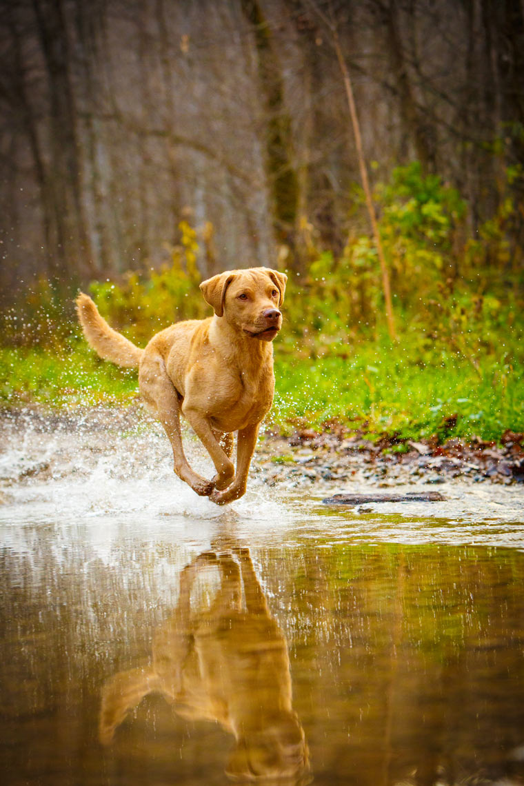 Chesapeake-Bay-Retriever-Chase-Hershey-5785apf.jpg