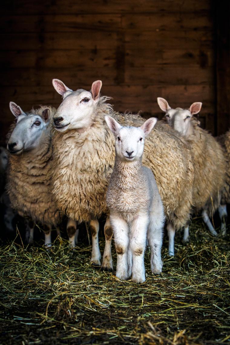 Cheviot-Lamb-and-sheep-3942-apf.jpeg