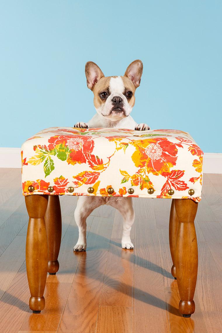French-Bulldog-Tinka-3842APF.jpg