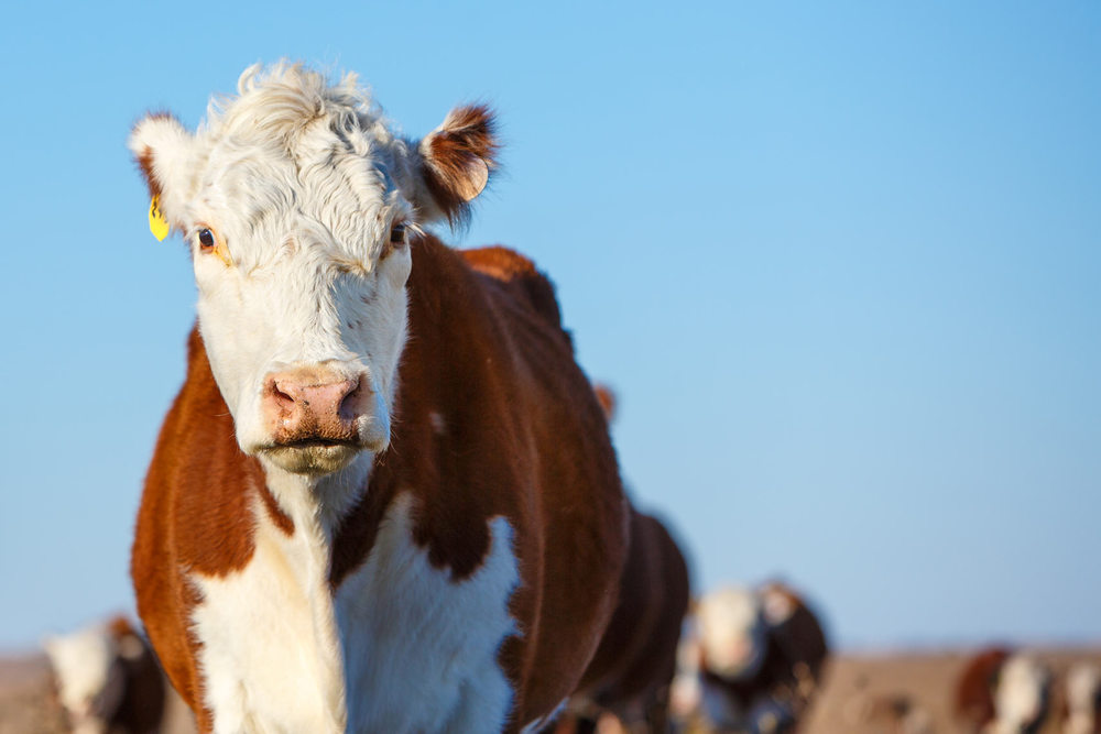 Hereford-Cattle-on-Pasture-Fall-9319apf.jpg