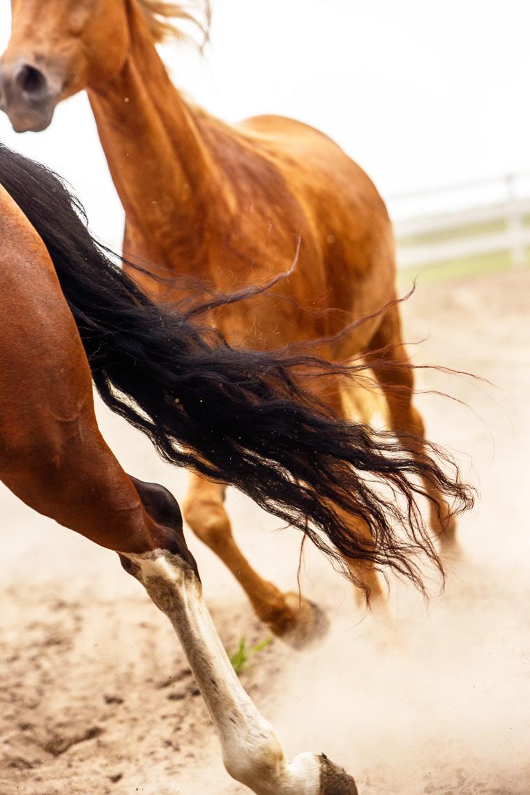 Palomino-Fox-Trotter-Horse-9263apf.jpg