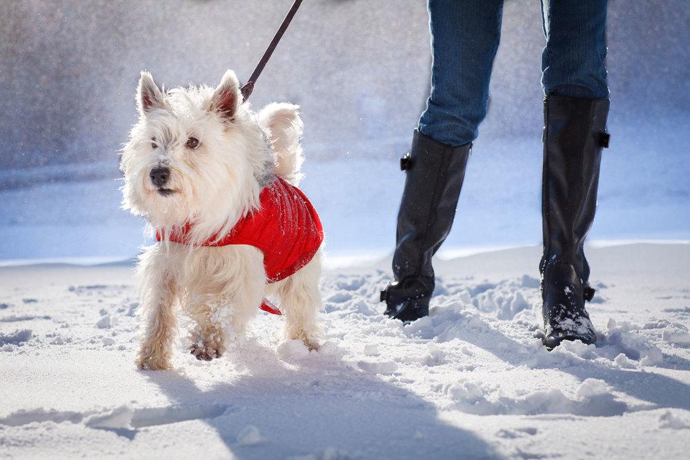Winter-West-Highland-White-Terrier-APF-5287-.jpg