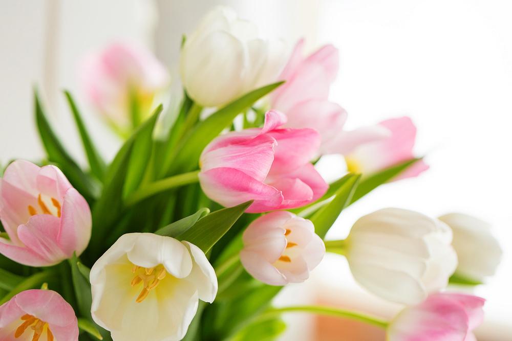 pink-tulips-7317apf-2.jpg