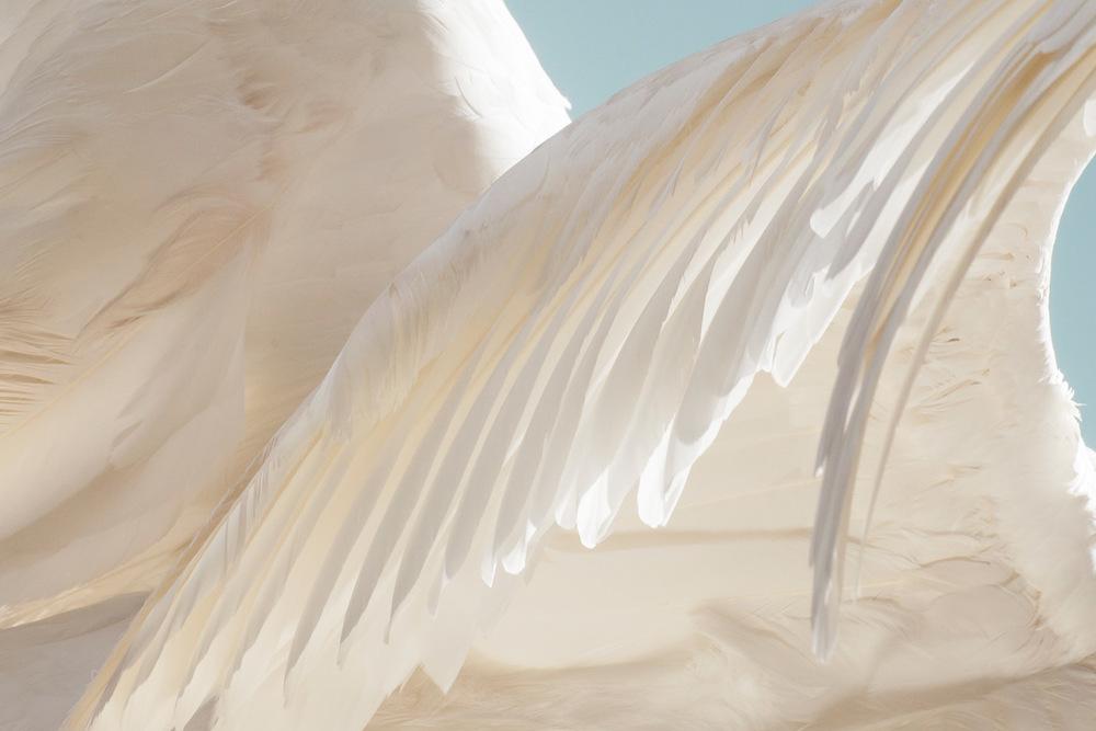 swan-133-apf.jpg