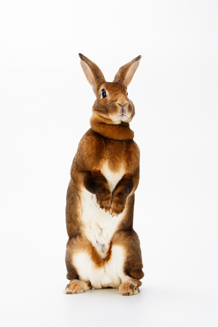 Rex-Rabbit-Cricket-8725apf.jpg