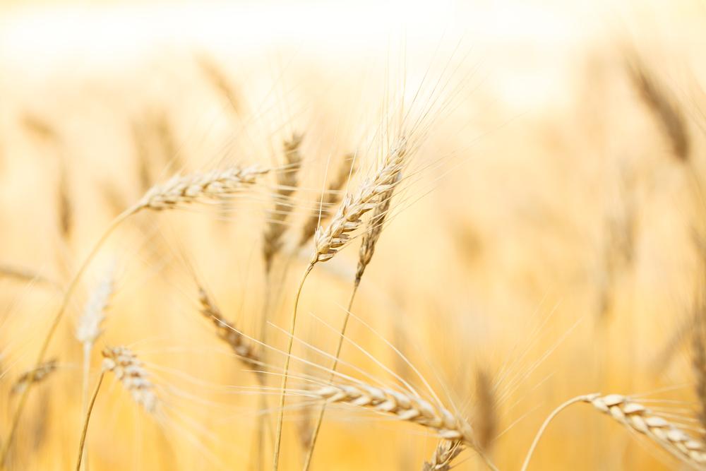 barley 1506.jpg