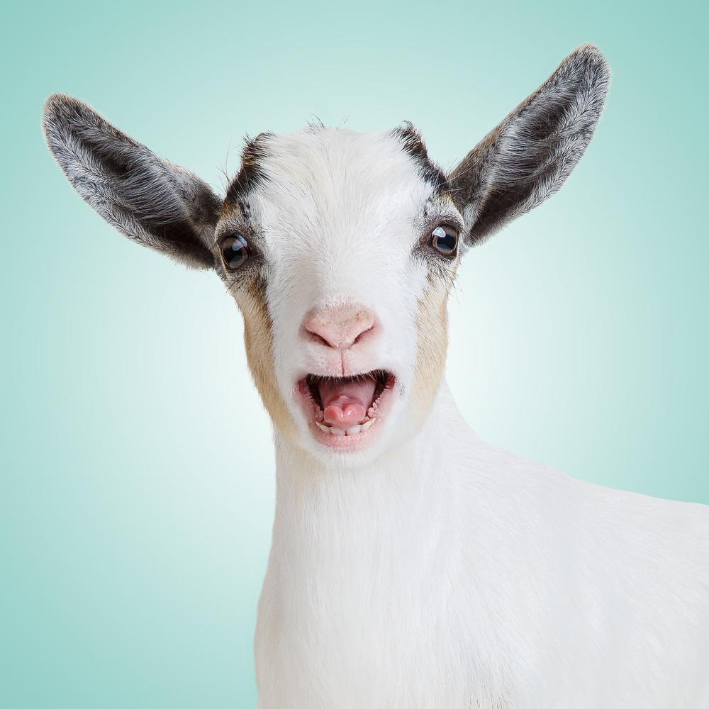 Pygmy-goat-Cookie-Dough-2004-sp.jpg